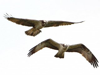 Weekly Fishing Report - Osprey Pair in Residence at Lochter