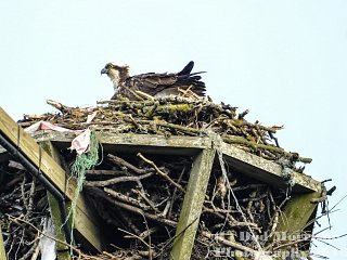 Weekly Fishing Report – Ospreys Back at Lochter!